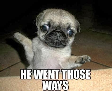 Funny Pug Memes - pug gives directions dr heckle