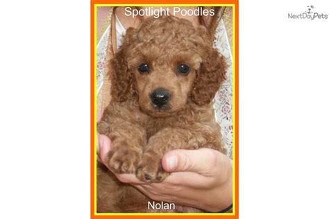miniature poodle rescue indiana poodle miniature for sale for 700 near terre haute
