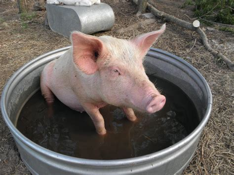 pig in bathtub farm life the making of a home