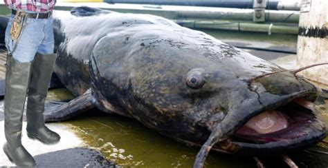 Single Car Garage Size by Alton Resident Catches 736 Pound Catfish In Mississippi