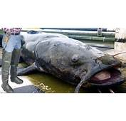 Alton Resident Catches 736 Pound Catfish In Mississippi