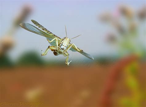 European Home locust in flight photo wp11745