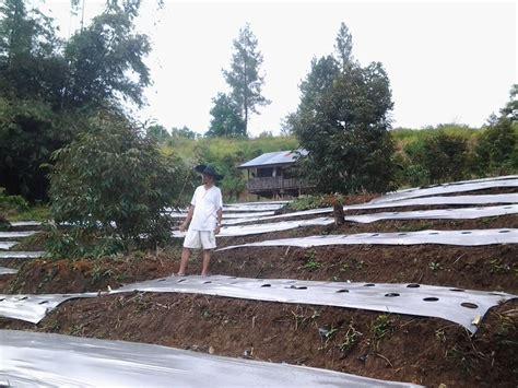 Harga Bibit Durian Terong berkebun durian montong berkebun durian bawor bibit
