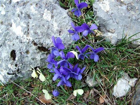 viole fiore viole fiori piante annuali viole fiori giardino
