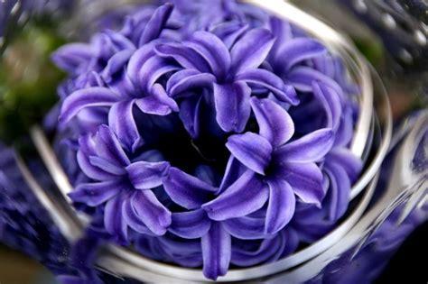 jacinto planta interior jacinto caracter 237 sticas cultivo cuidados planta flor