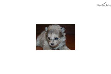 lavender merle pomeranian meet ditzy a pomeranian puppy for sale for 975 ditzy lavender merle pending