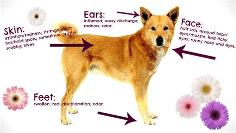 what can you give a for allergies allergies u s canine
