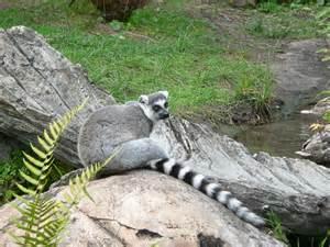 animal pictures picture 4 of 6 lemur lemur catta pictures images