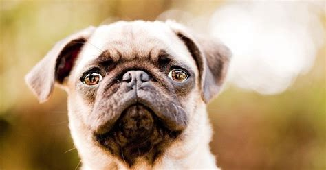 everything you need to about pugs everything you ve wanted to about pug quirks smarts health and more