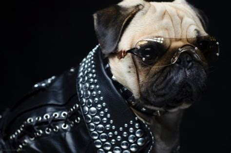 pug lord pugs in their looks page 1
