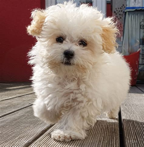 Maltipoo Shed by Maltipoo Your Guide To The Adorable Maltese Poodle Mix