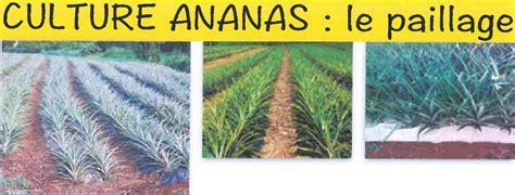 Culture D Ananas by Le Paillage En Culture D Ananas Ecophytopic