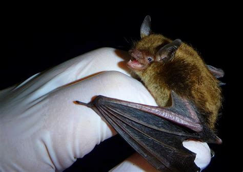 How Do You Get Rid Of Bats In Your Backyard by How To Get Rid Of Bats In The Attic New Today
