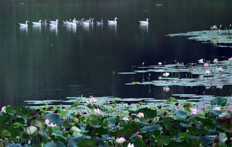 lotus pond pictures lotus pond 2 free stock photo domain pictures