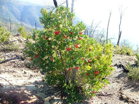 siepe da giardino sempreverdi piante per siepi sempreverdi siepi caratteristiche