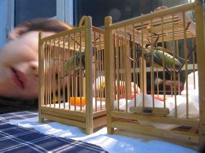 crickets as pets :guide to breeding feeder crickets