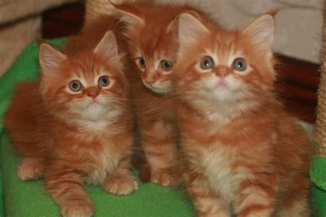 Lovely Red Tabby Maine Coon Kittens for sale   Glasgow