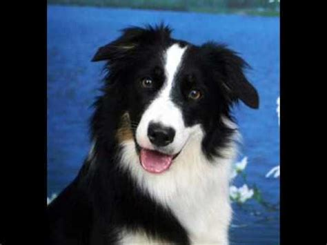 smartest dogs list most intelligent in the world border collie doovi