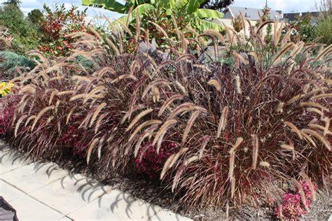 pennisetum x advena rubrum