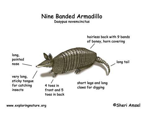 armadillo nine banded