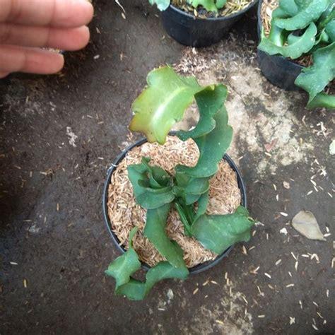 Bibit Buah Naga Mini tanaman buah naga mini putih bibitbunga