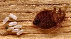 how do bed bugs multiply bed bugs faqs important information for effective