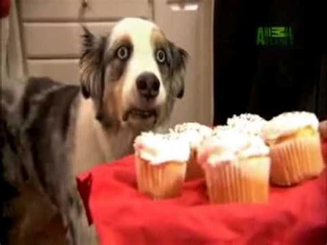 Ptsd Dog Meme - cupcake dog meme