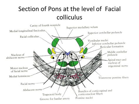 pons section brain stem anterior view ppt video online download