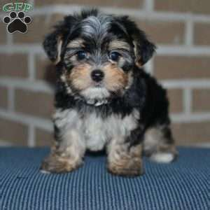 morkie puppies for sale in md morki city russia hd wallpapers and photos vivowallpapar