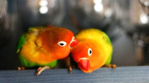pappagalli inseparabili alimentazione inseparabile di fischer agapornis fischeri animali volanti