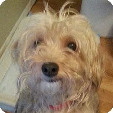 yorkie silky mix adopted 13 014 romeoville il yorkie terrier silky