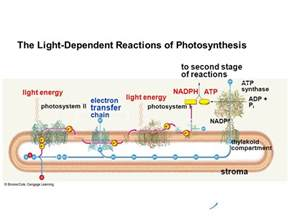 7 photosynthesis ppt