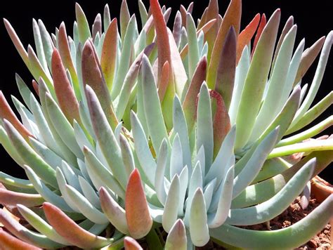 dudleya hassei cactus jungle
