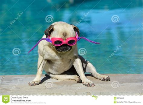pug goggles pug with goggles royalty free stock photo image 37703365