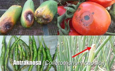 klasifikasi antraknosa colletotrichum capsici  faktor
