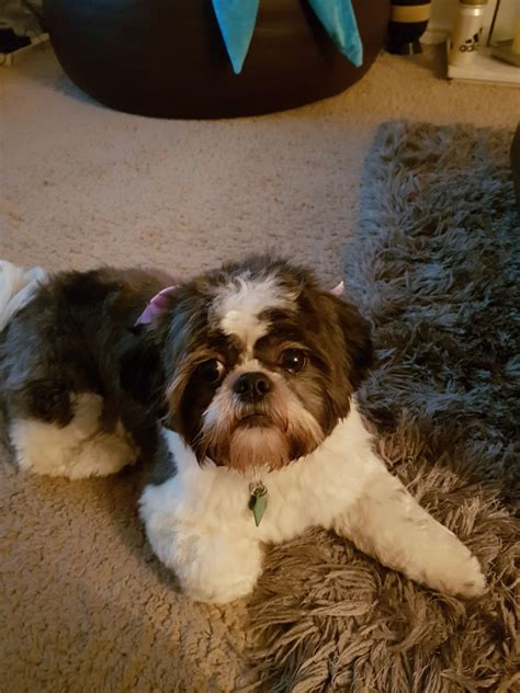 shih tzu puppies free to home shih tzu free to a loving home hartlepool county durham pets4homes