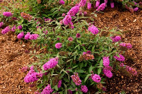 Buttering Flutterbies 2 by Buddleia Blue Chip A Butterfly Bush Hybrid That Stays