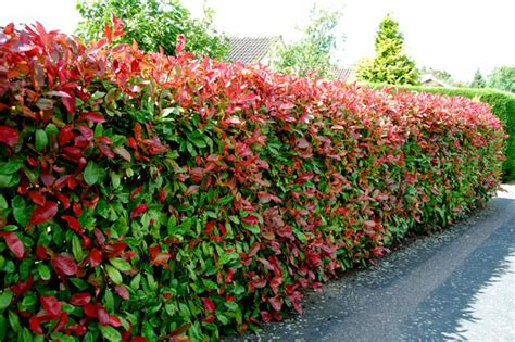 Photinia Hecke Robin by Photinia Robin Hedge Hedge Xpress