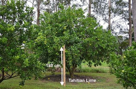 large tahitian lime tree always in fruit and a top fruit