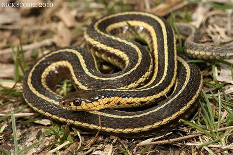 Garter Snake Michigan Butler S Garter Snake Flickr Photo