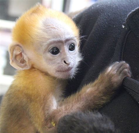 small monkey breeds smallest monkey dog breeds picture