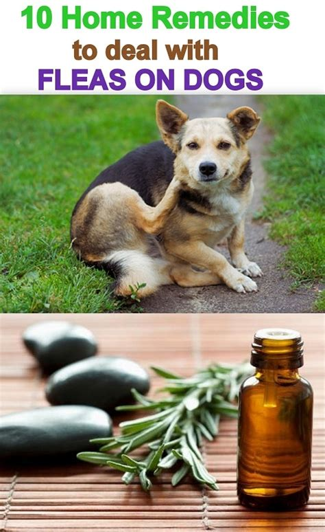 cool home remedies fleas on dogs on flea and tick