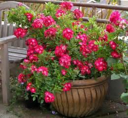 отглеждане на рози в саксия страница 8 форуми за цветя flowersnet info