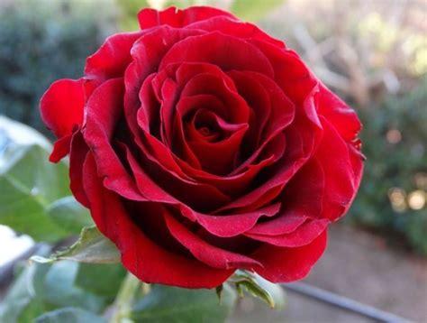 gambar bunga mawar tercantik  dunia warna putih