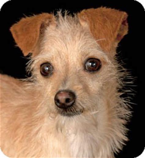 italian greyhound yorkie mix ready for adoption terrier italian greyhound breeds picture