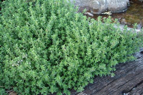Thyme Garden by Growing Thyme Bonnie Plants