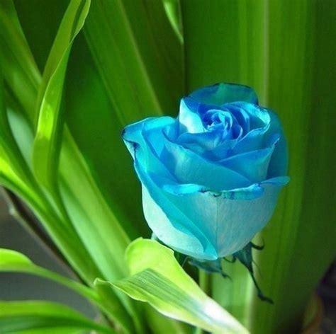 imagenes de flores turquesas conato