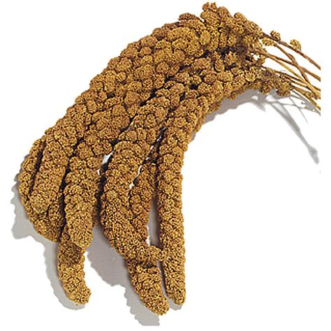 millet is bird seed talk budgies forums