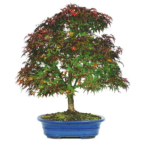 bonsai with japanese maples japanese maple bonsai care