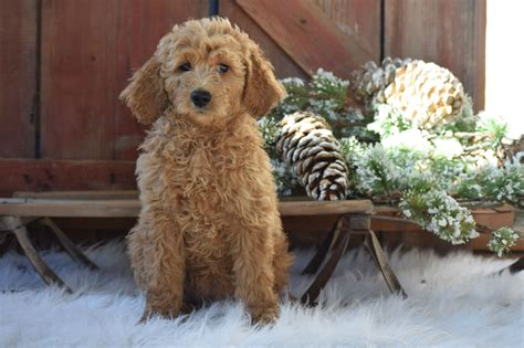 ginger doodle 100 ginger doodle puppy dogs u0026 puppies dogs